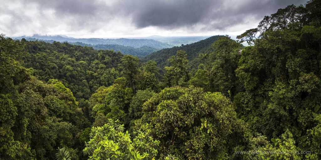 Choco Rainforest, Ecuador. This area of jungle is the Mashpi Cloud Forest in the Pichincha Province of Ecuador, South America-3