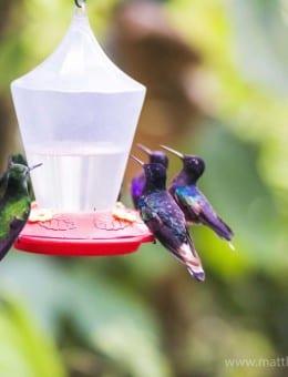 Hummingbirds at a hummingbird feeder at Mashpi Lodge, Choco Cloud Forest, Ecuador, South America-3