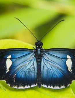 Butterfly, Mashpi Cloud Forest, Choco Rainforest, Ecuador, South America-4